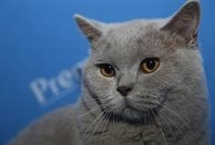 British_Shorthair.jpg